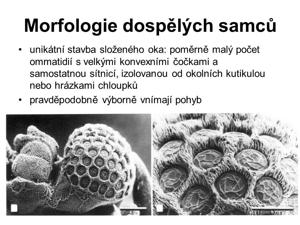 Morfologie dospělých samců unikátní stavba složeného oka: poměrně malý počet ommatidií s velkými konvexními čočkami a samostatnou sítnicí, izolovanou