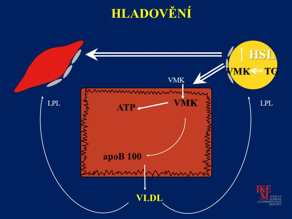 VLDL HSL HLADOVĚNÍ LPL apoB 100 ATP VMK VMK TG VMK