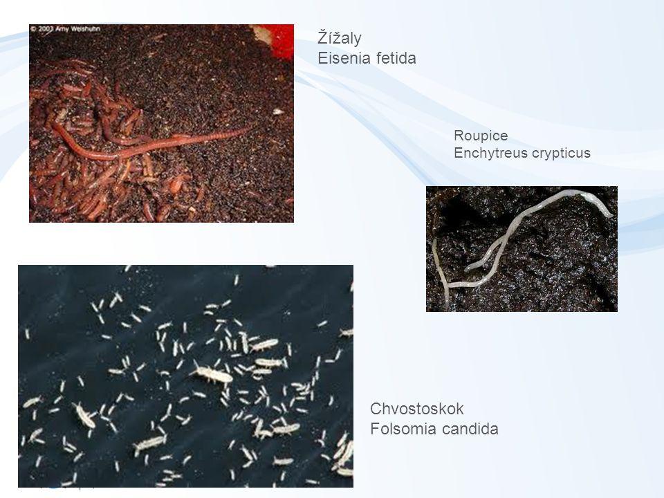 Roupice Enchytreus crypticus Chvostoskok Folsomia candida Žížaly Eisenia fetida