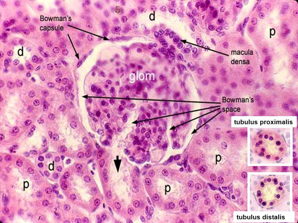 16 tubulus proximalis tubulus distalis