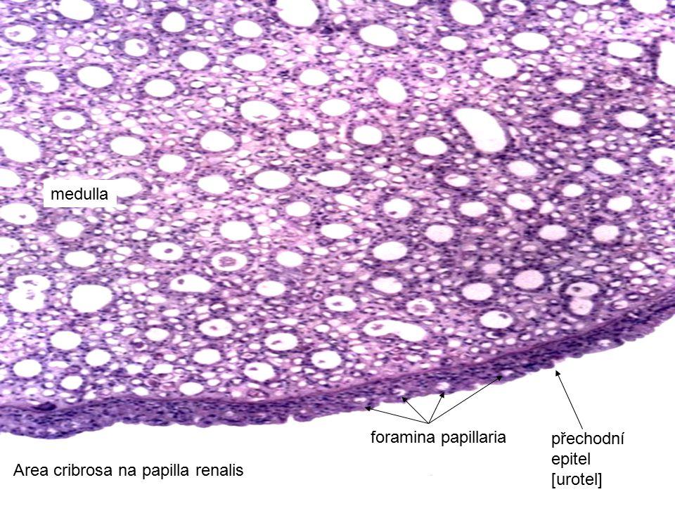 31 Area cribrosa na papilla renalis foramina papillaria medulla přechodní epitel [urotel]