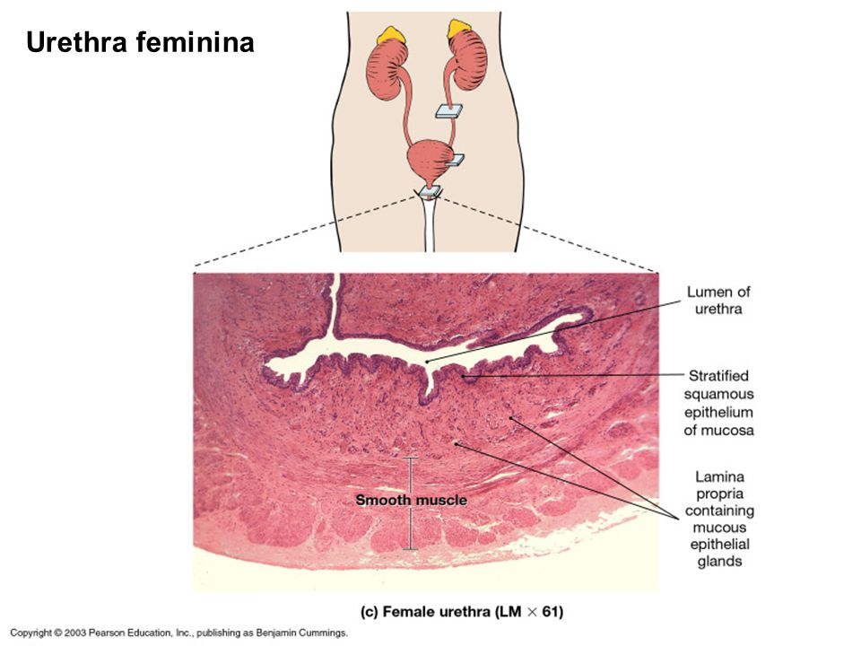 44 Urethra feminina