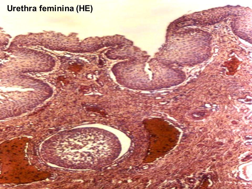 45 Urethra feminina (HE)