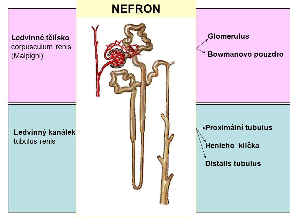 5 NEFRON Ledvinné tělísko corpusculum renis (Malpighi) Glomerulus Bowmanovo pouzdro Ledvinný kanálek tubulus renis Proximální tubulus Henleho klička D