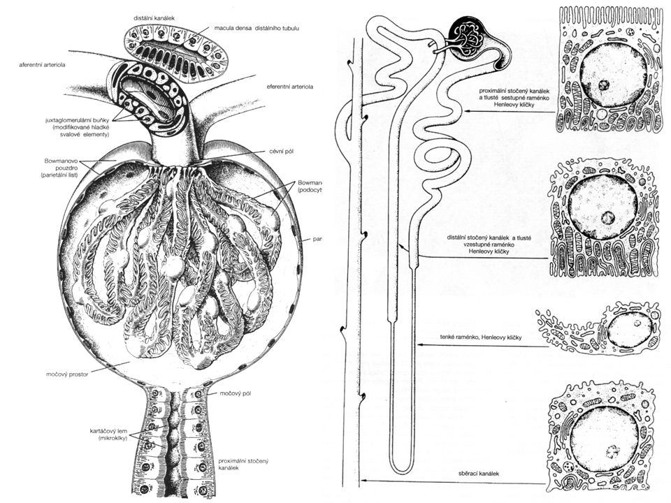 7 Ledvinné tělísko (  200 μm) arteriola afferens + efferens glomerulus močový prostor močový pól Cévní pól Bowmanovo pouzdro: parietální list viscerální list (podocyty) + vnitřní mesangium + zevní mesangium = klubíčko kapilár s póry
