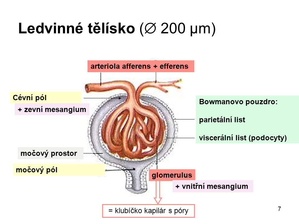 8 Tubulus renis Distální tubulus Proximální tubulus Henleho klička