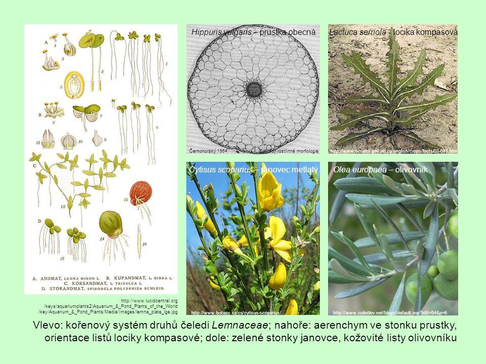 Vlevo: kořenový systém druhů čeledi Lemnaceae; nahoře: aerenchym ve stonku prustky, orientace listů lociky kompasové; dole: zelené stonky janovce, kož