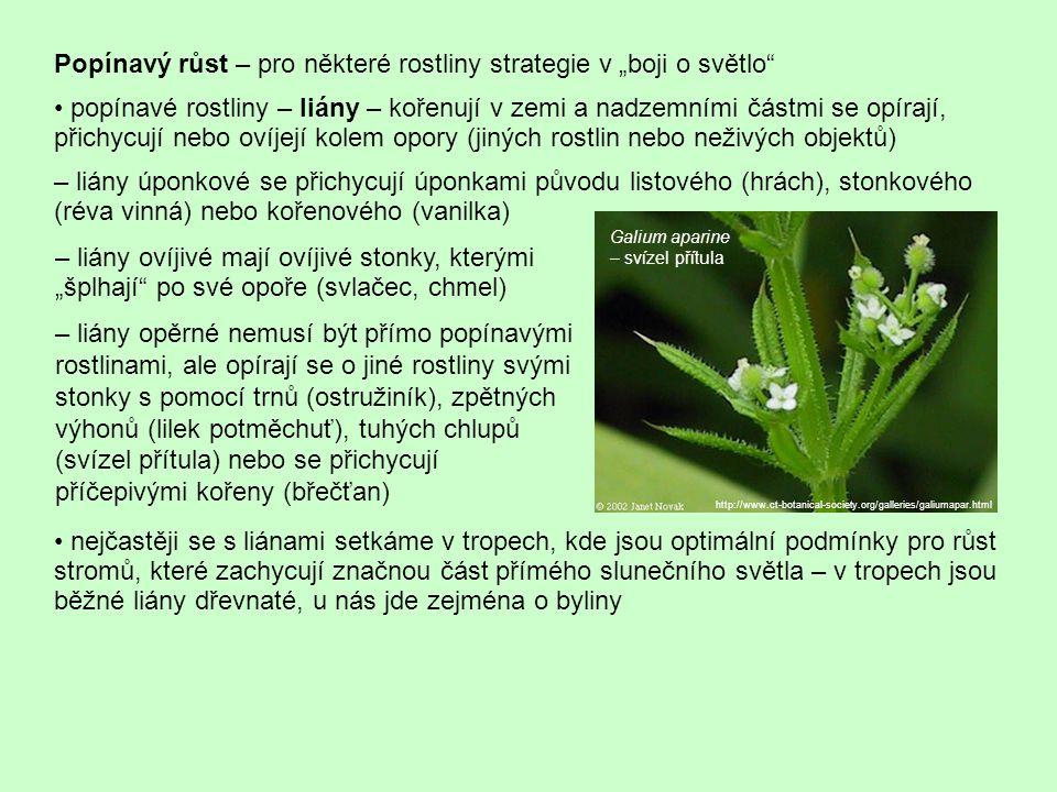 """Popínavý růst – pro některé rostliny strategie v """"boji o světlo popínavé rostliny – liány – kořenují v zemi a nadzemními částmi se opírají, přichycují nebo ovíjejí kolem opory (jiných rostlin nebo neživých objektů) – liány úponkové se přichycují úponkami původu listového (hrách), stonkového (réva vinná) nebo kořenového (vanilka) nejčastěji se s liánami setkáme v tropech, kde jsou optimální podmínky pro růst stromů, které zachycují značnou část přímého slunečního světla – v tropech jsou běžné liány dřevnaté, u nás jde zejména o byliny – liány ovíjivé mají ovíjivé stonky, kterými """"šplhají po své opoře (svlačec, chmel) – liány opěrné nemusí být přímo popínavými rostlinami, ale opírají se o jiné rostliny svými stonky s pomocí trnů (ostružiník), zpětných výhonů (lilek potměchuť), tuhých chlupů (svízel přítula) nebo se přichycují příčepivými kořeny (břečťan) http://www.ct-botanical-society.org/galleries/galiumapar.html Galium aparine – svízel přítula"""