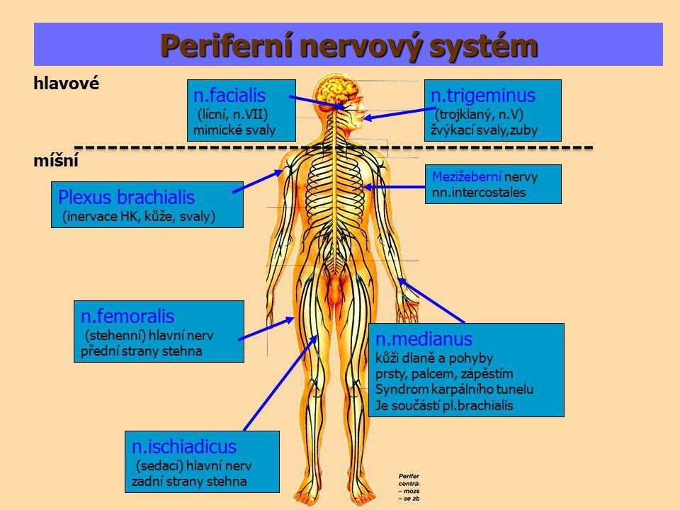 mícha Axony z mozku – bílá kůra míchy Šedá kůra míchy – zde sídlí těla nerv. buněk Periferní nervy
