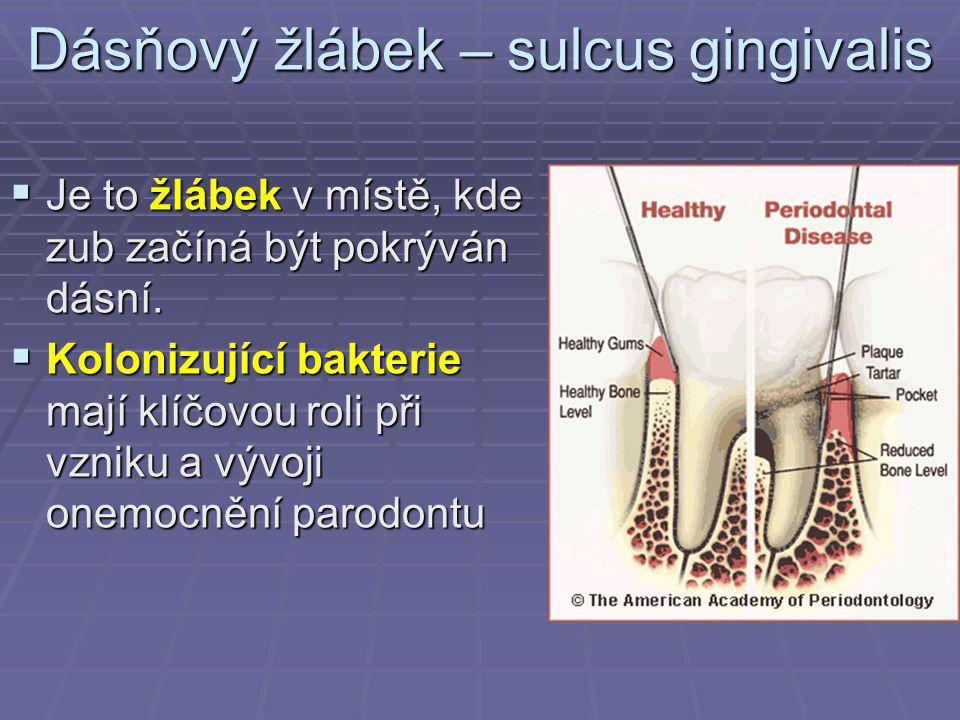 Dásňový žlábek – sulcus gingivalis  Je to žlábek v místě, kde zub začíná být pokrýván dásní.  Kolonizující bakterie mají klíčovou roli při vzniku a