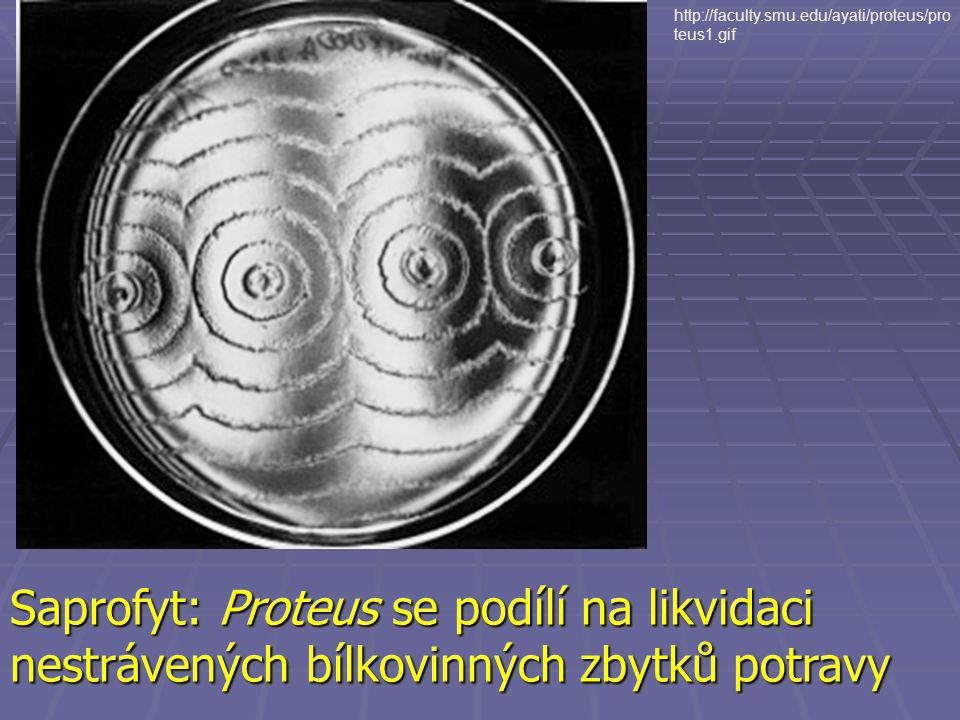 Saprofyt: Proteus se podílí na likvidaci nestrávených bílkovinných zbytků potravy http://faculty.smu.edu/ayati/proteus/pro teus1.gif