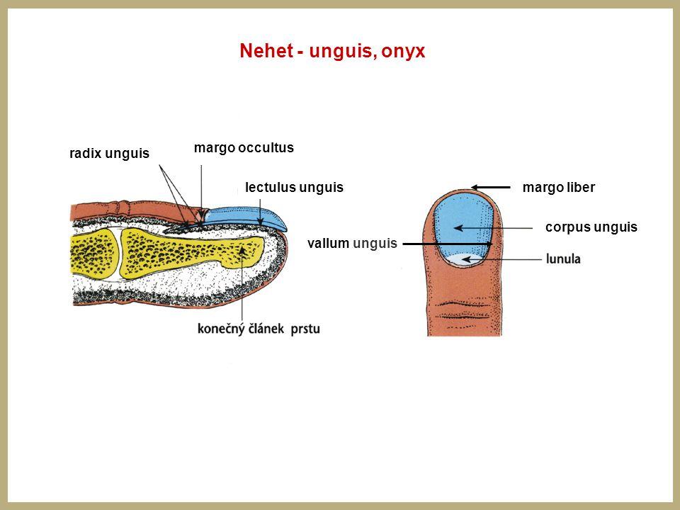 Nehet - unguis, onyx margo liber corpus unguis radix unguis lectulus unguis vallum unguis margo occultus