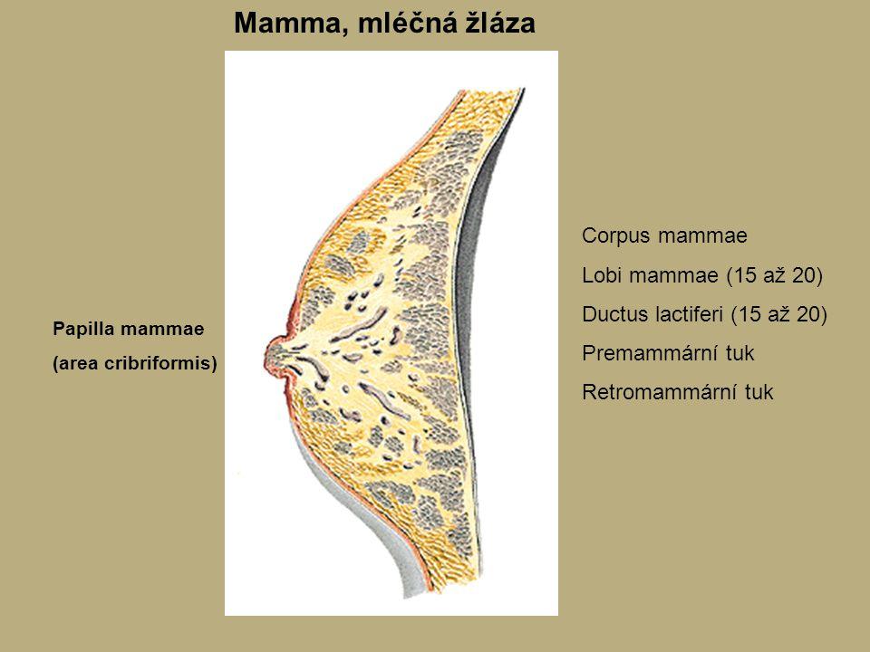 Mamma, mléčná žláza Papilla mammae (area cribriformis) Corpus mammae Lobi mammae (15 až 20) Ductus lactiferi (15 až 20) Premammární tuk Retromammární