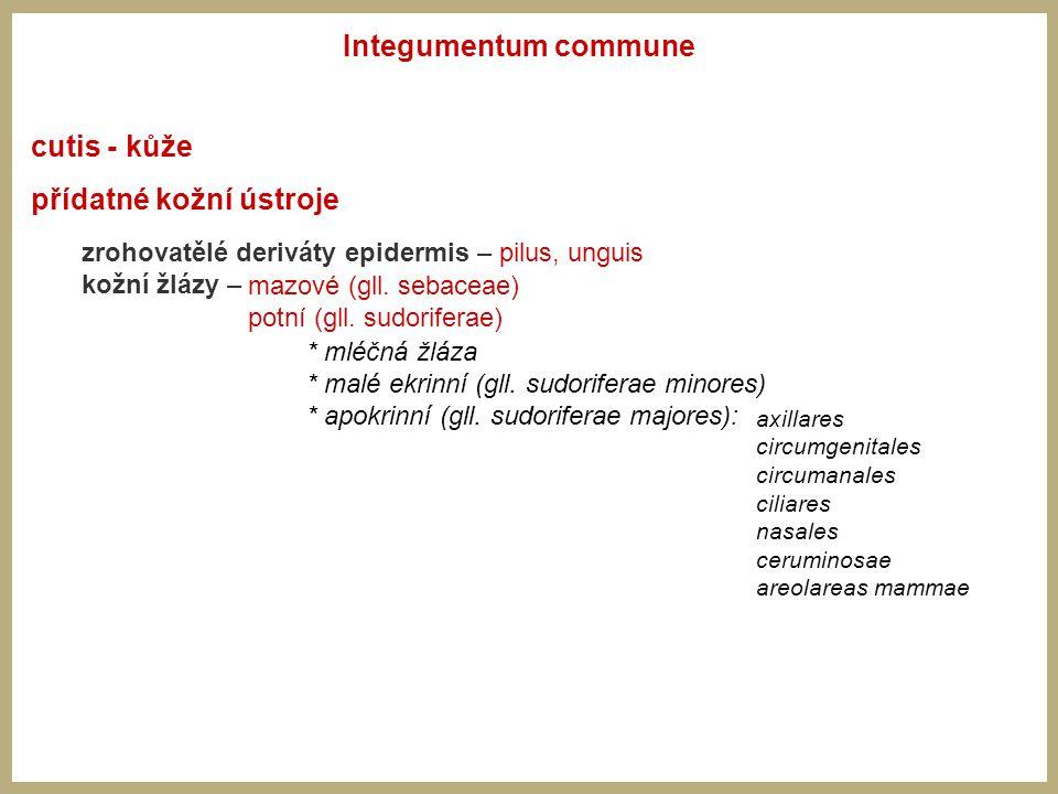 cutis - kůže přídatné kožní ústroje Integumentum commune zrohovatělé deriváty epidermis – pilus, unguis kožní žlázy – * mléčná žláza * malé ekrinní (gll.