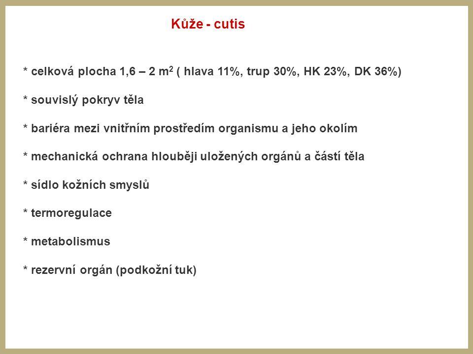 * celková plocha 1,6 – 2 m 2 ( hlava 11%, trup 30%, HK 23%, DK 36%) * souvislý pokryv těla * bariéra mezi vnitřním prostředím organismu a jeho okolím * mechanická ochrana hlouběji uložených orgánů a částí těla * sídlo kožních smyslů * termoregulace * metabolismus * rezervní orgán (podkožní tuk) Kůže - cutis