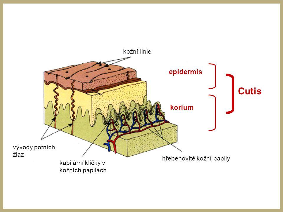 Cutis epidermis korium vývody potních žlaz kapilární kličky v kožních papilách hřebenovité kožní papily kožní linie