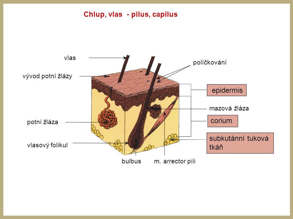 Chlup, vlas - pilus, capilus vlas vývod potní žlázy potní žláza vlasový folikul bulbus m. arrector pili corium mazová žláza políčkování epidermis cori
