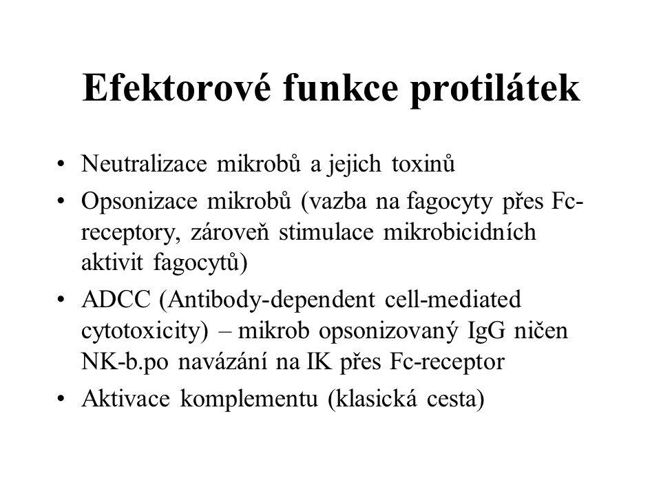 Efektorové funkce protilátek Neutralizace mikrobů a jejich toxinů Opsonizace mikrobů (vazba na fagocyty přes Fc- receptory, zároveň stimulace mikrobic