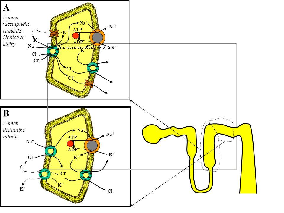 A B Na + K+K+ Cl - ATP ADP Na + K+K+ ATP ADP Lumen distálního tubulu Lumen vzestupného raménka Henleovy kličky K+K+ K+K+ Cl - K+K+ K+K+ K+K+ K+K+
