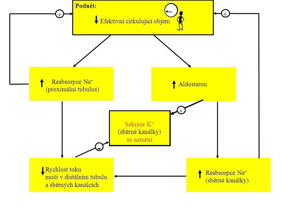 Podnět: Efektivní cirkulující objem Reabsorpce Na + (proximální tubulus) Aldosteron Rychlost toku moči v distálním tubulu a sběrných kanálcích Reabsor