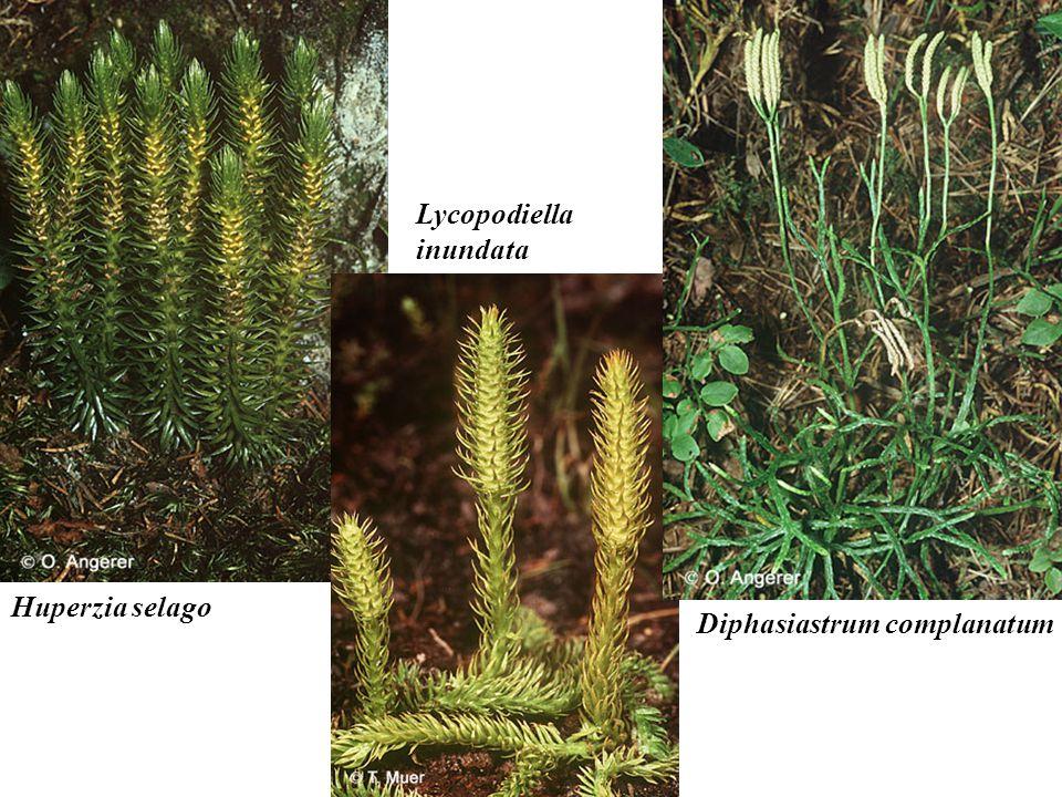 Huperzia selago Lycopodiella inundata Diphasiastrum complanatum