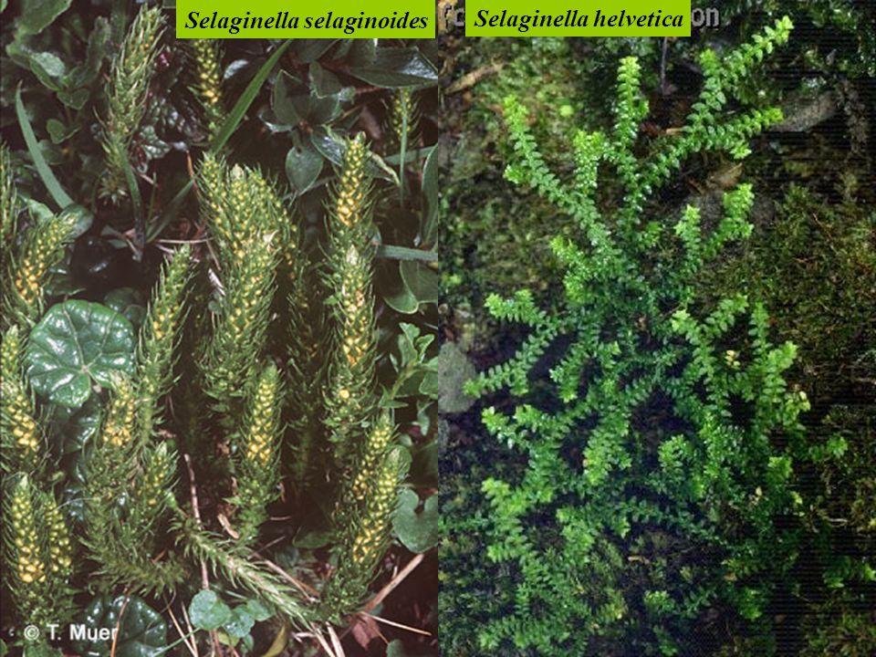 Selaginella selaginoides Selaginella helvetica