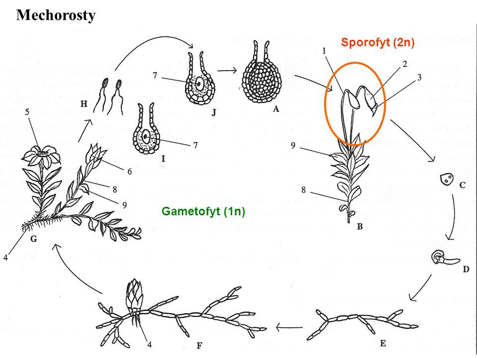 výtrusné cévnaté rostliny (kapraďorosty) - mikrofylní x makrofylní vývoj.
