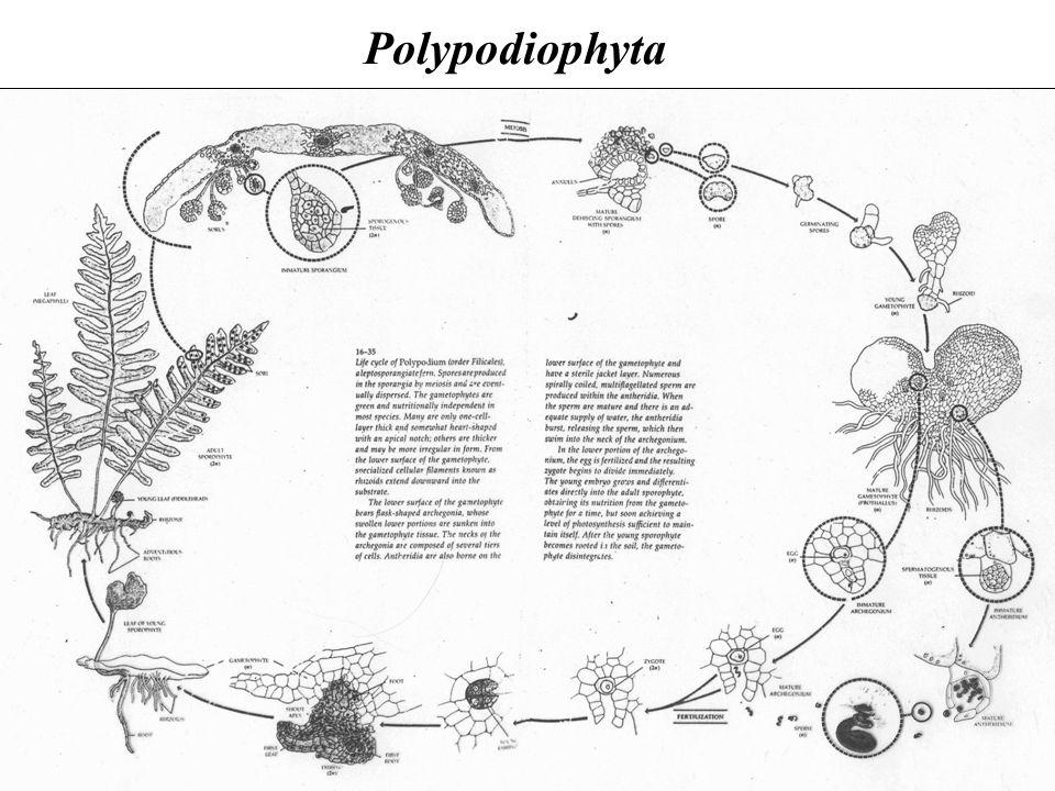 Polypodiophyta