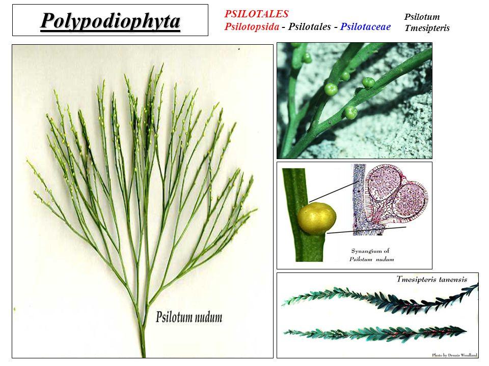 Polypodiophyta PSILOTALES Psilotopsida - Psilotales - Psilotaceae Psilotum Tmesipteris