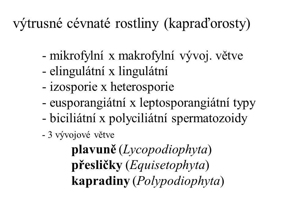 Polypodiopsida: protoleptosporangiátní, izosporické Osmundiidae, Osmundales Osmundaceae - podezřeňovité Osmunda regalis (podezřeň královská)