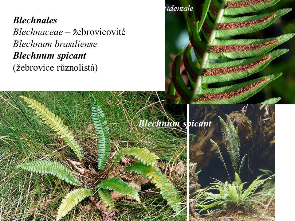 Blechnales Blechnaceae – žebrovicovité Blechnum brasiliense Blechnum spicant (žebrovice různolistá) B.