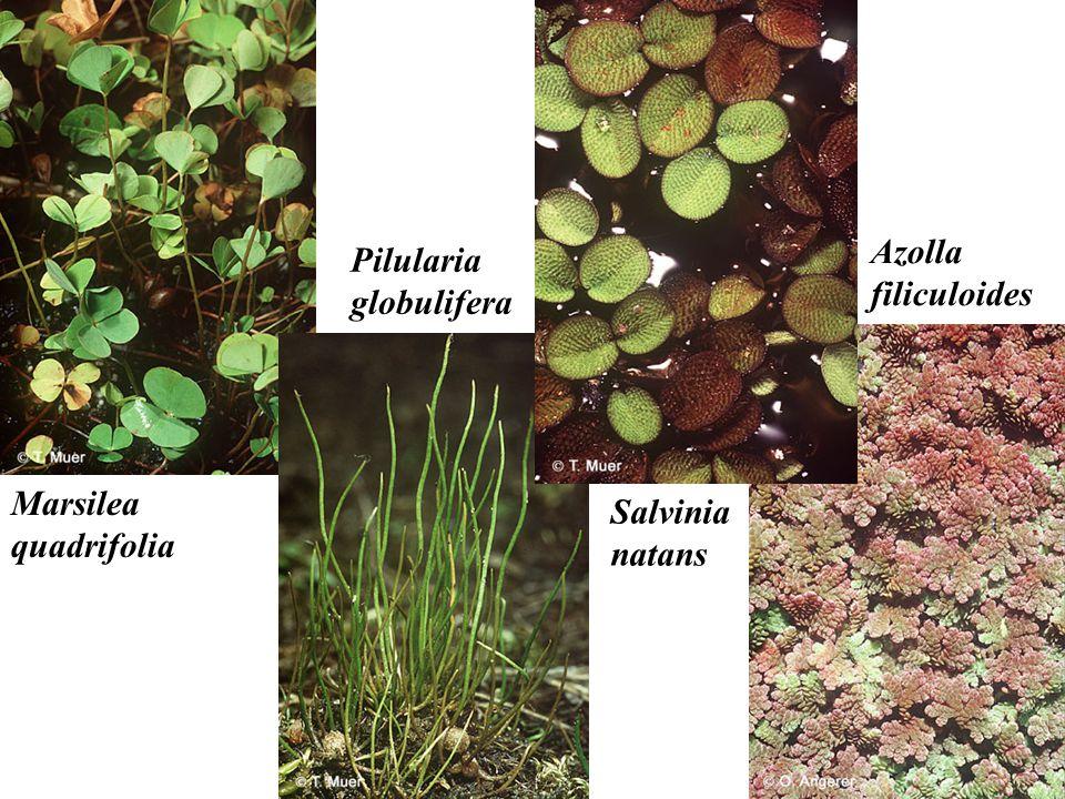 Pilularia globulifera Marsilea quadrifolia Salvinia natans Azolla filiculoides