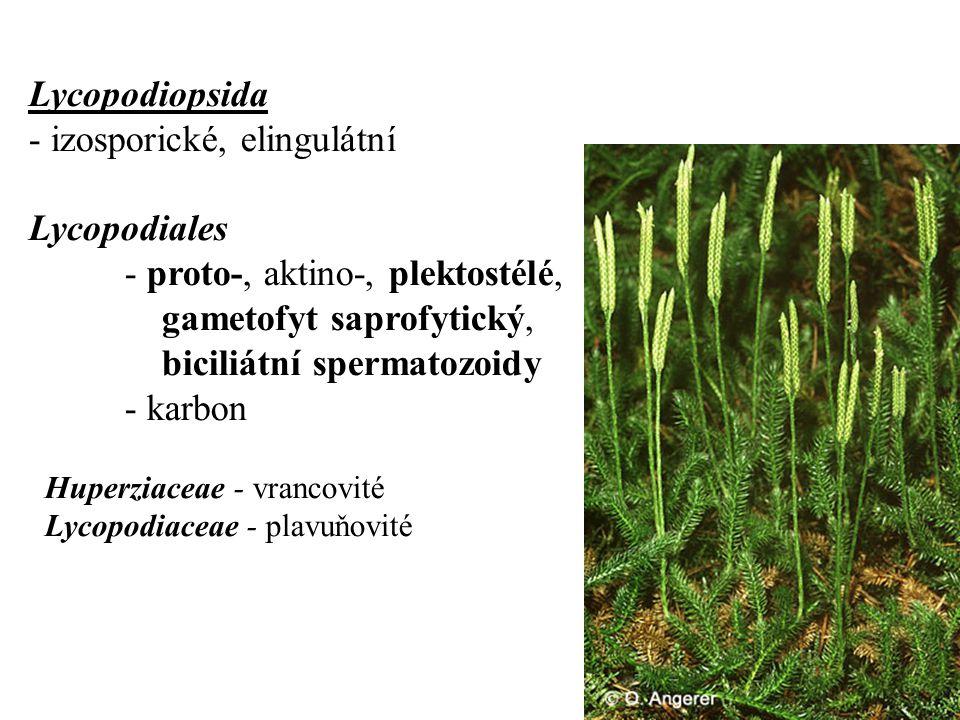 Lycopodiopsida - izosporické, elingulátní Lycopodiales - proto-, aktino-, plektostélé, gametofyt saprofytický, biciliátní spermatozoidy - karbon Huperziaceae - vrancovité Lycopodiaceae - plavuňovité