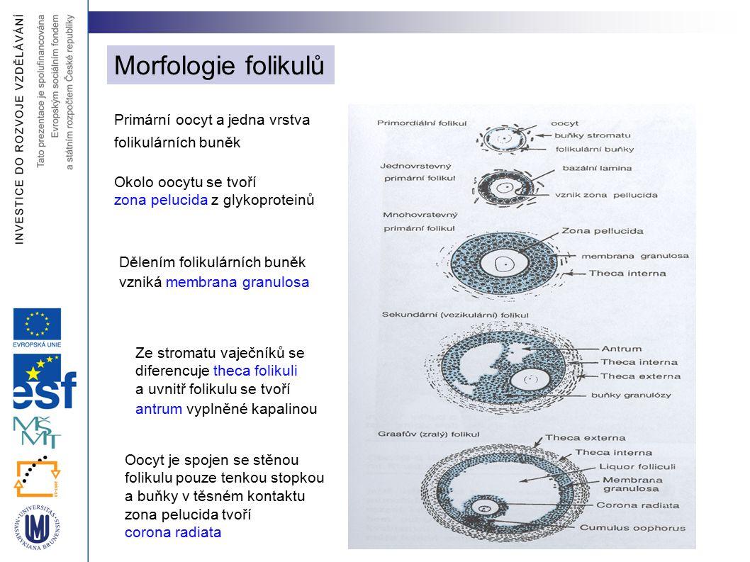 Primární oocyt a jedna vrstva folikulárních buněk Dělením folikulárních buněk vzniká membrana granulosa Okolo oocytu se tvoří zona pelucida z glykopro