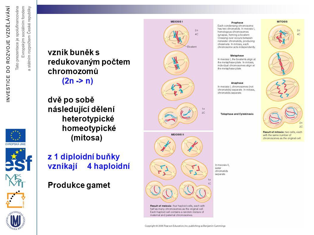 vznik buněk s redukovaným počtem chromozomů (2n -> n) dvě po sobě následující dělení heterotypické homeotypické (mitosa) z 1 diploidní buňky vznikají