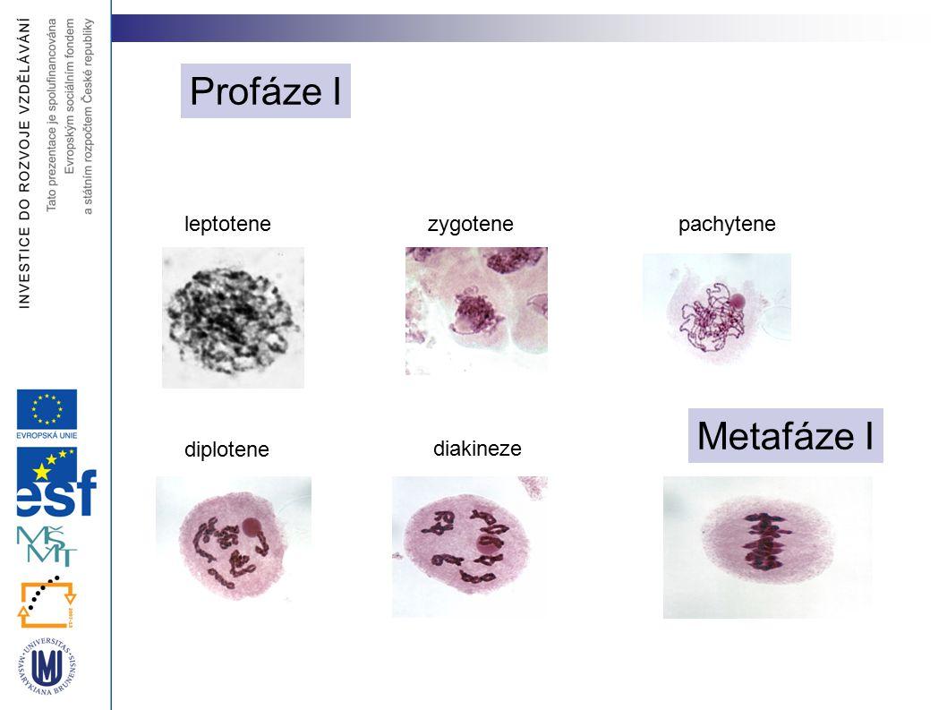 leptotenezygotenepachytene diplotene diakineze Metafáze I Profáze I