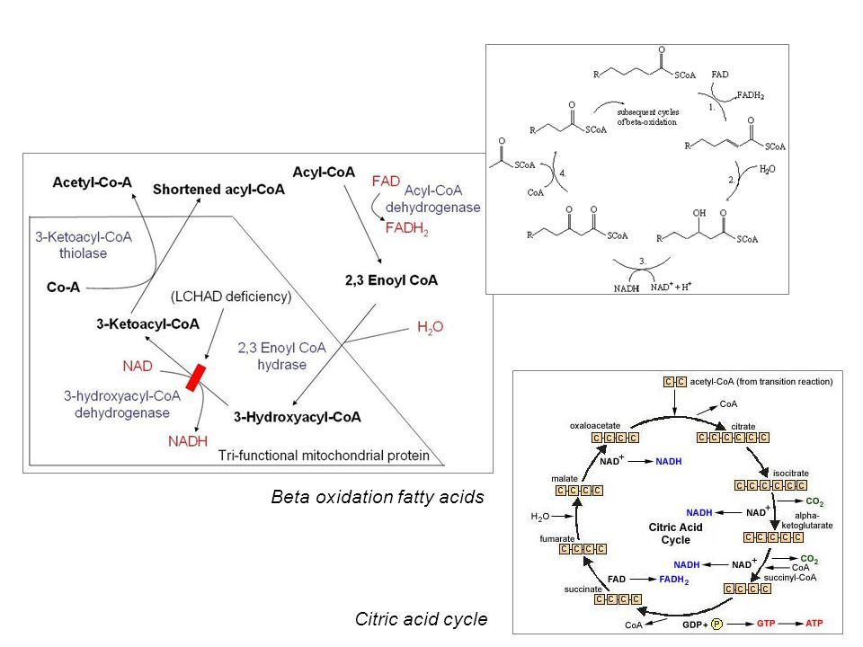 Beta oxidation fatty acids Citric acid cycle