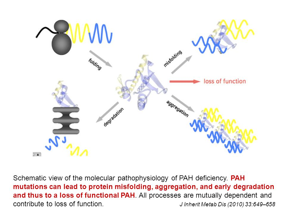 Schematic view of the molecular pathophysiology of PAH deficiency. PAH mutations can lead to protein misfolding, aggregation, and early degradation an