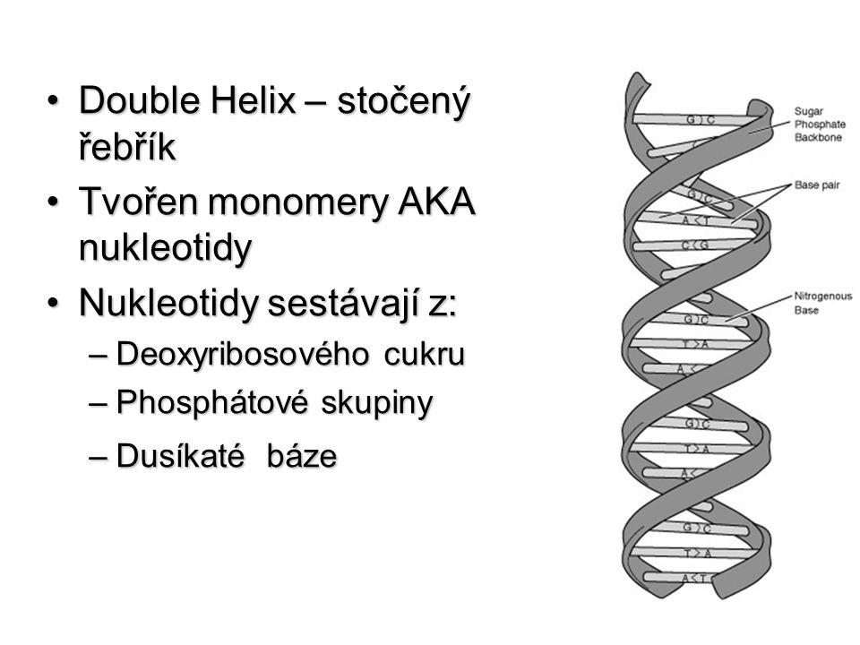 Double Helix – stočený řebříkDouble Helix – stočený řebřík Tvořen monomery AKA nukleotidyTvořen monomery AKA nukleotidy Nukleotidy sestávají z:Nukleot