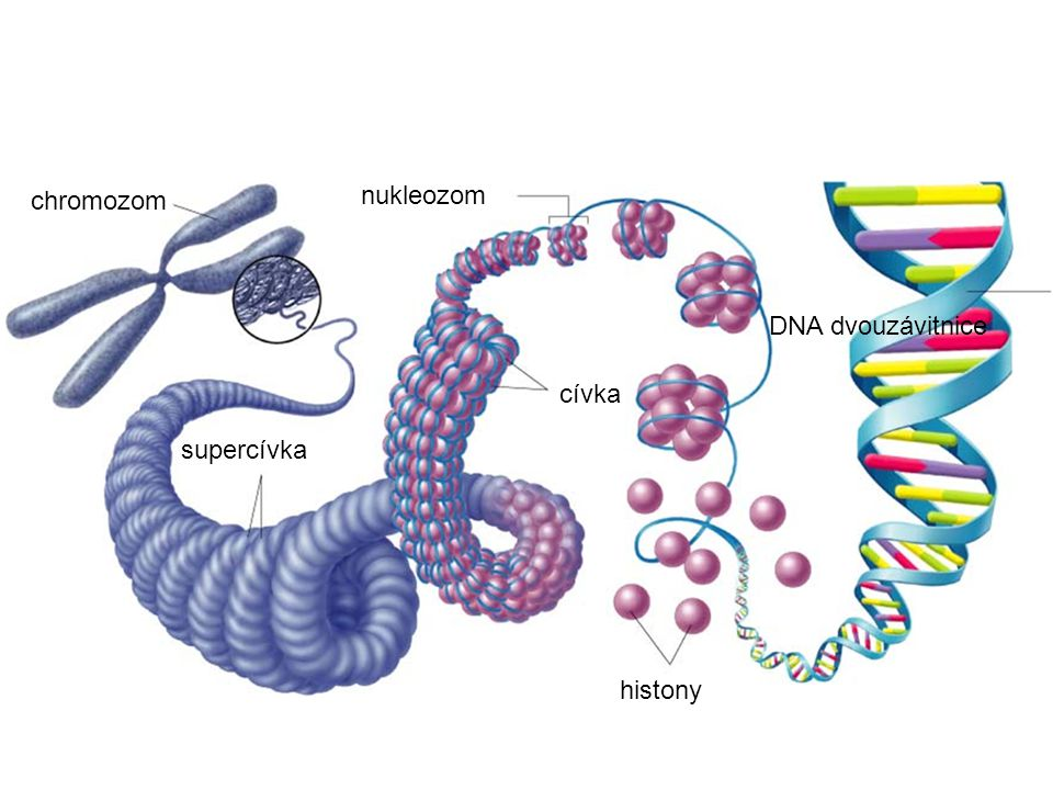supercívka chromozom cívka nukleozom histony DNA dvouzávitnice