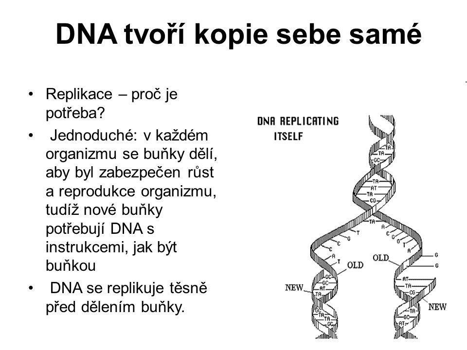 DNA tvoří kopie sebe samé Replikace – proč je potřeba? Jednoduché: v každém organizmu se buňky dělí, aby byl zabezpečen růst a reprodukce organizmu, t