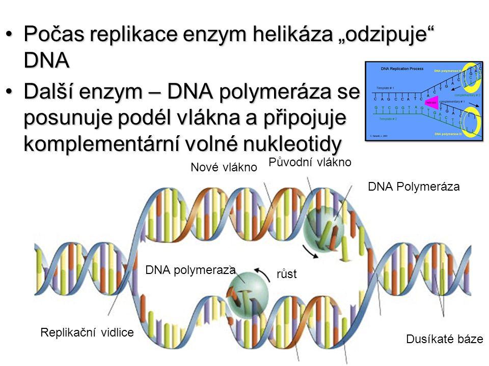 """Počas replikace enzym helikáza """"odzipuje"""" DNAPočas replikace enzym helikáza """"odzipuje"""" DNA Další enzym – DNA polymeráza se posunuje podél vlákna a při"""