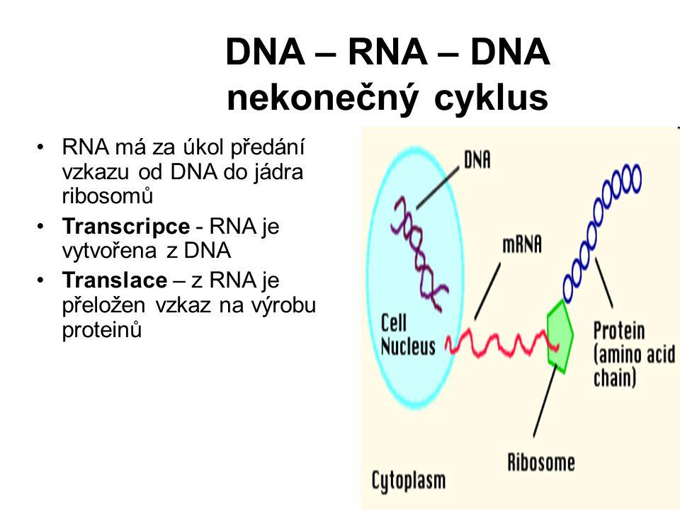 DNA – RNA – DNA nekonečný cyklus RNA má za úkol předání vzkazu od DNA do jádra ribosomů Transcripce - RNA je vytvořena z DNA Translace – z RNA je přel