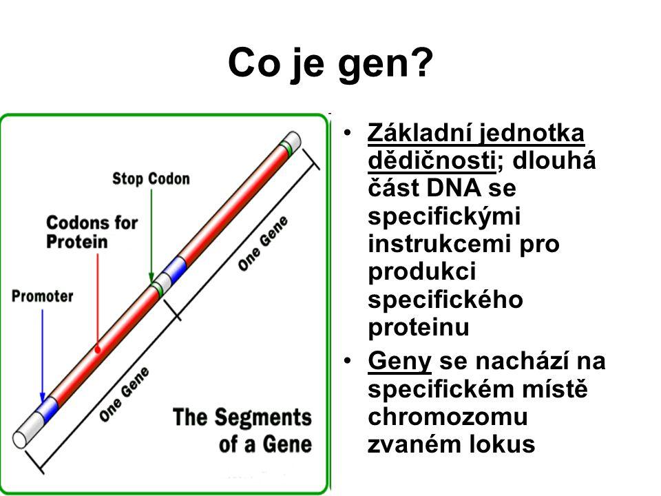 Co je gen? Základní jednotka dědičnosti; dlouhá část DNA se specifickými instrukcemi pro produkci specifického proteinu Geny se nachází na specifickém