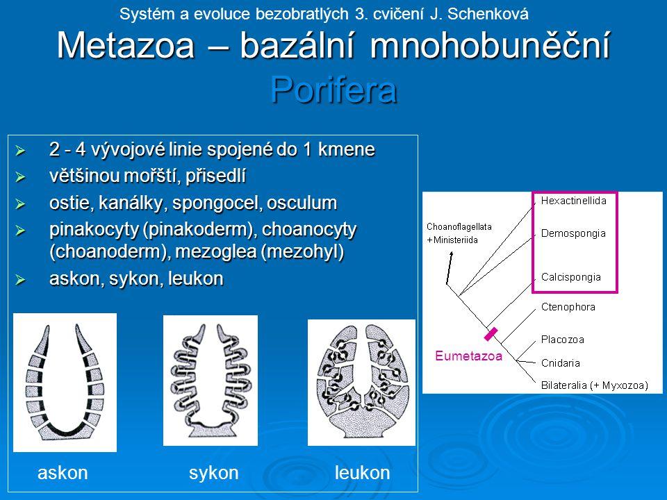 6 sarkosept, 6 (nebo násobek) sklerosept, chapadel více, exoskelet z CaCO 3, podtřída: Hexacorallia - šestičetní Actiniaria - sasanky Solitérní bez exoskeletu, silná mezoglea vyztužená jehličkami z kolagenních fibril, nožní terč - posun po podkladu, akoncie - žahavá vlákna Anemonia sulcata - sasanka hnědá Vnější kostra ve tvaru pohárku se sklerosepty, velké kolonie, vápenitý skelet, tropické oblasti, tvorba útesů, Zooxanthella v entodermu Diploria cerebriformis (větevník mozkový) Scleractinia - větevníci Systém a evoluce bezobratlých 3.
