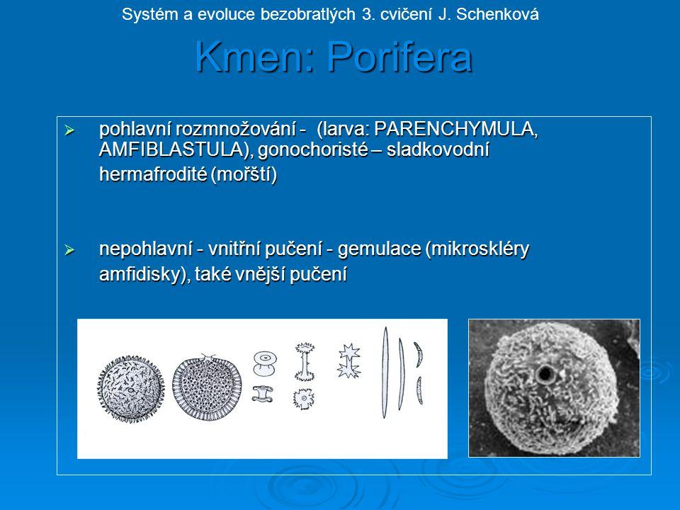 """třída: Hexactinellida - křemití Mořské druhy, šestičetné jehlice z SiO 2, stmelené sponginem Euplectella aspergillum - houba pletená """"Venušin koš , hlubinná, Tichý oceán Systém a evoluce bezobratlých 3."""
