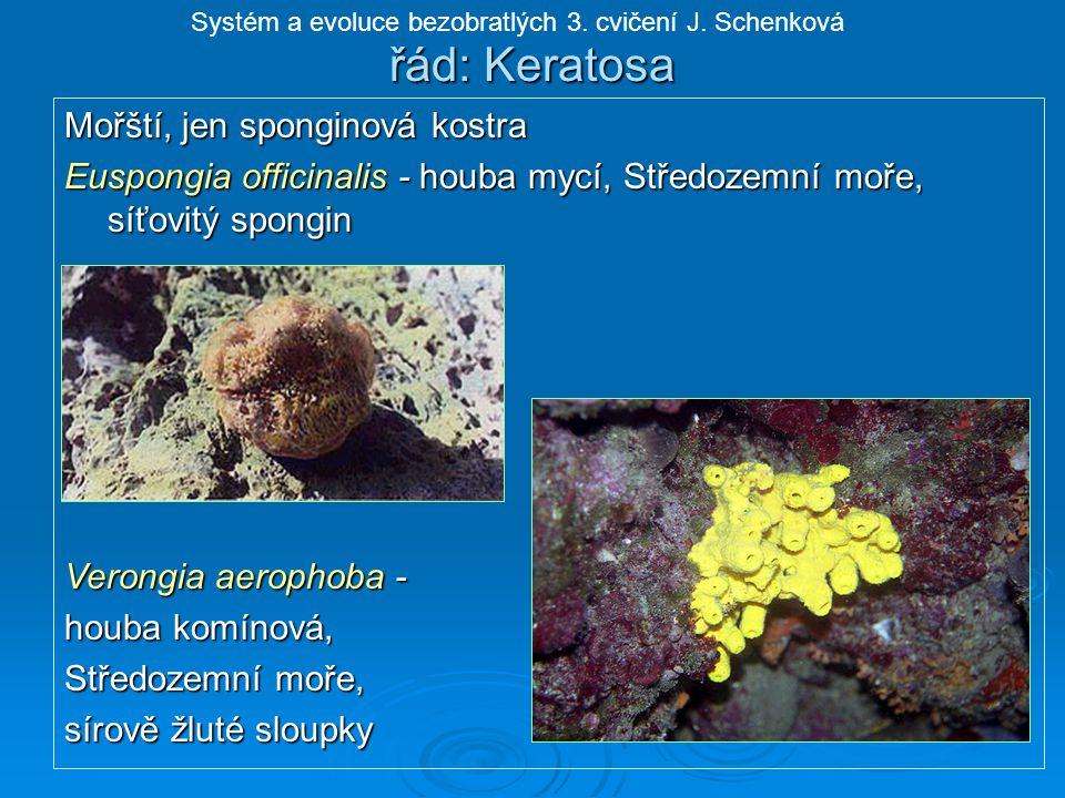 řád: Keratosa Mořští, jen sponginová kostra Euspongia officinalis - houba mycí, Středozemní moře, síťovitý spongin Verongia aerophoba - houba komínová, Středozemní moře, sírově žluté sloupky Systém a evoluce bezobratlých 3.