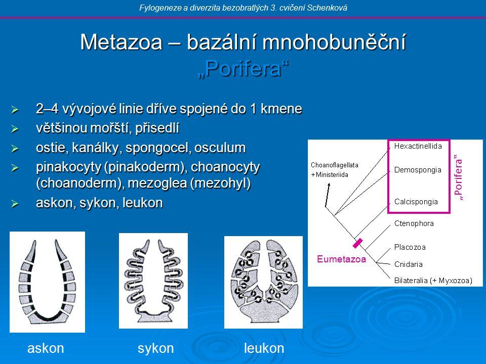 """Metazoa – bazální mnohobuněční """"Porifera  2–4 vývojové linie dříve spojené do 1 kmene  většinou mořští, přisedlí  ostie, kanálky, spongocel, osculum  pinakocyty (pinakoderm), choanocyty (choanoderm), mezoglea (mezohyl)  askon, sykon, leukon Fylogeneze a diverzita bezobratlých 3."""