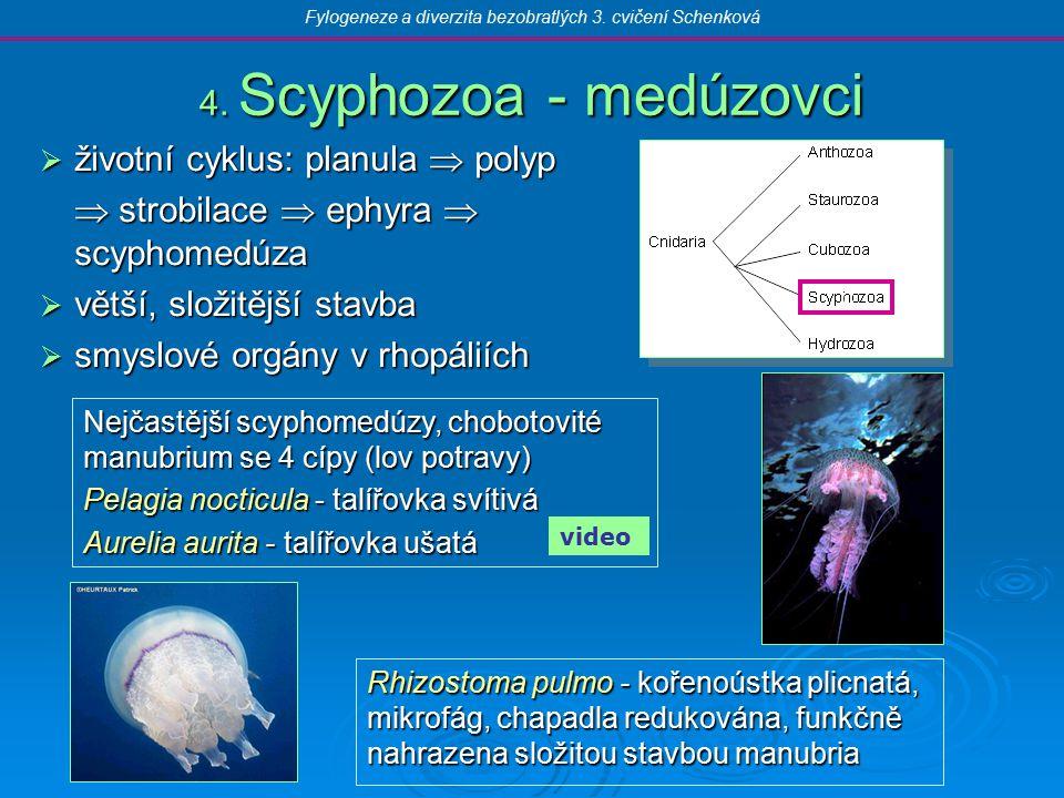 4. Scyphozoa - medúzovci  životní cyklus: planula  polyp  strobilace  ephyra  scyphomedúza  větší, složitější stavba  smyslové orgány v rhopáli