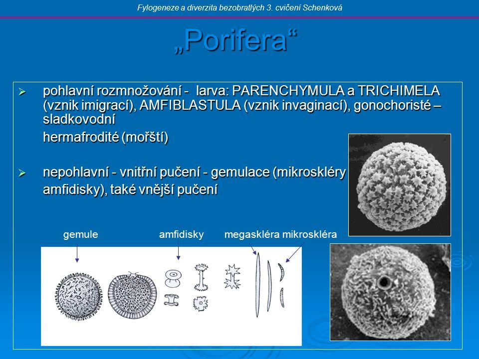 """""""Porifera  pohlavní rozmnožování - larva: PARENCHYMULA a TRICHIMELA (vznik imigrací), AMFIBLASTULA (vznik invaginací), gonochoristé – sladkovodní hermafrodité (mořští)  nepohlavní - vnitřní pučení - gemulace (mikroskléry amfidisky), také vnější pučení Fylogeneze a diverzita bezobratlých 3."""